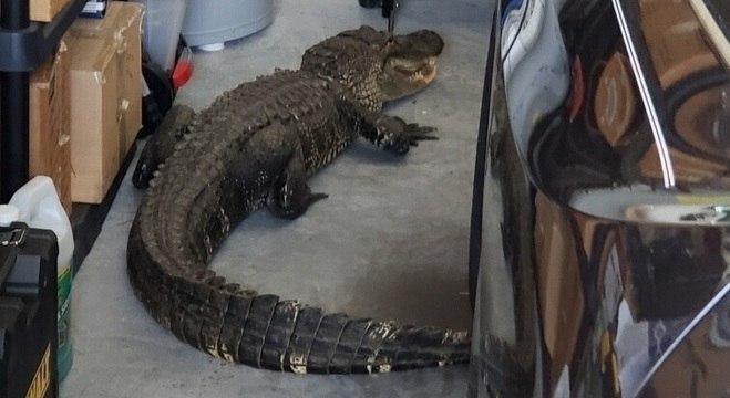 Jacaré de cerca de 2 metros foi encontrado em uma garagem na Flórida