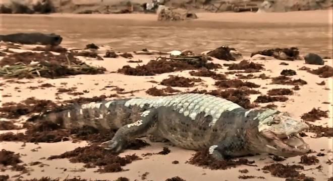Jacaré morto praia da penha