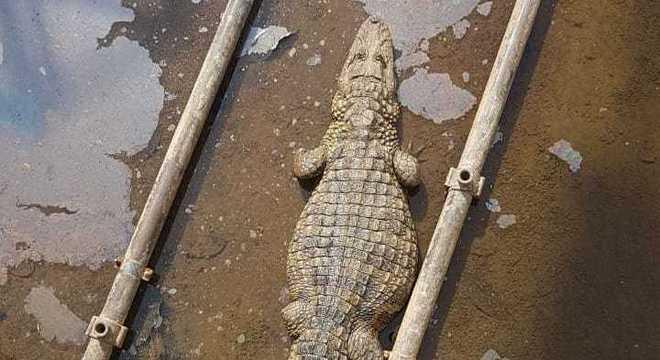 Jacaré foi resgatado e solto na Lagoa da Pampulha