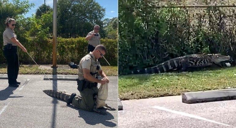 Jacaré com 1,82 m de comprimento foi preso após perseguir pedestres na Flórida (EUA)