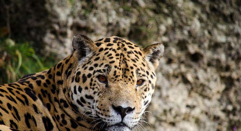 Jaguar, o que é? Origem, características e curiosidades