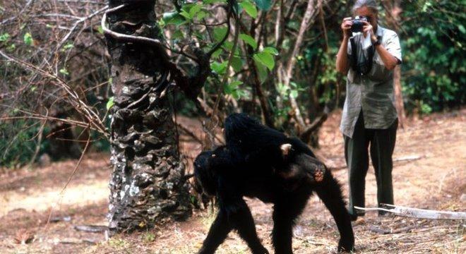 Goodall conseguiu estabelecer um relacionamento próximo com o grupo animal em Gombe