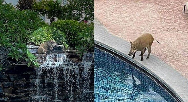 Javali invadiu um clube de elite em Hong Kong e ocupou a cascata de uma piscina até ser detido