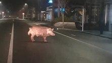 Porco selvagem ocupa rua e surpreende caçador ao volante