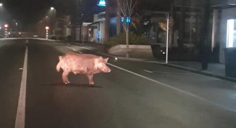 Porco selvagem foi flagrado no meio de rua em cidade da Nova Zelândia