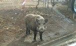 Uma nova espécie híbrida e radioativa de javalis e porcos se desenvolve em Fukushima, lar de um dos maiores desastres nucleares da humanidade, em 2011. A conclusão é de pesquisadores que continuamente analisam o DNA dos animais da região