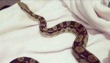 Pânico: duas cobras gigantes estão à solta em pequena cidade