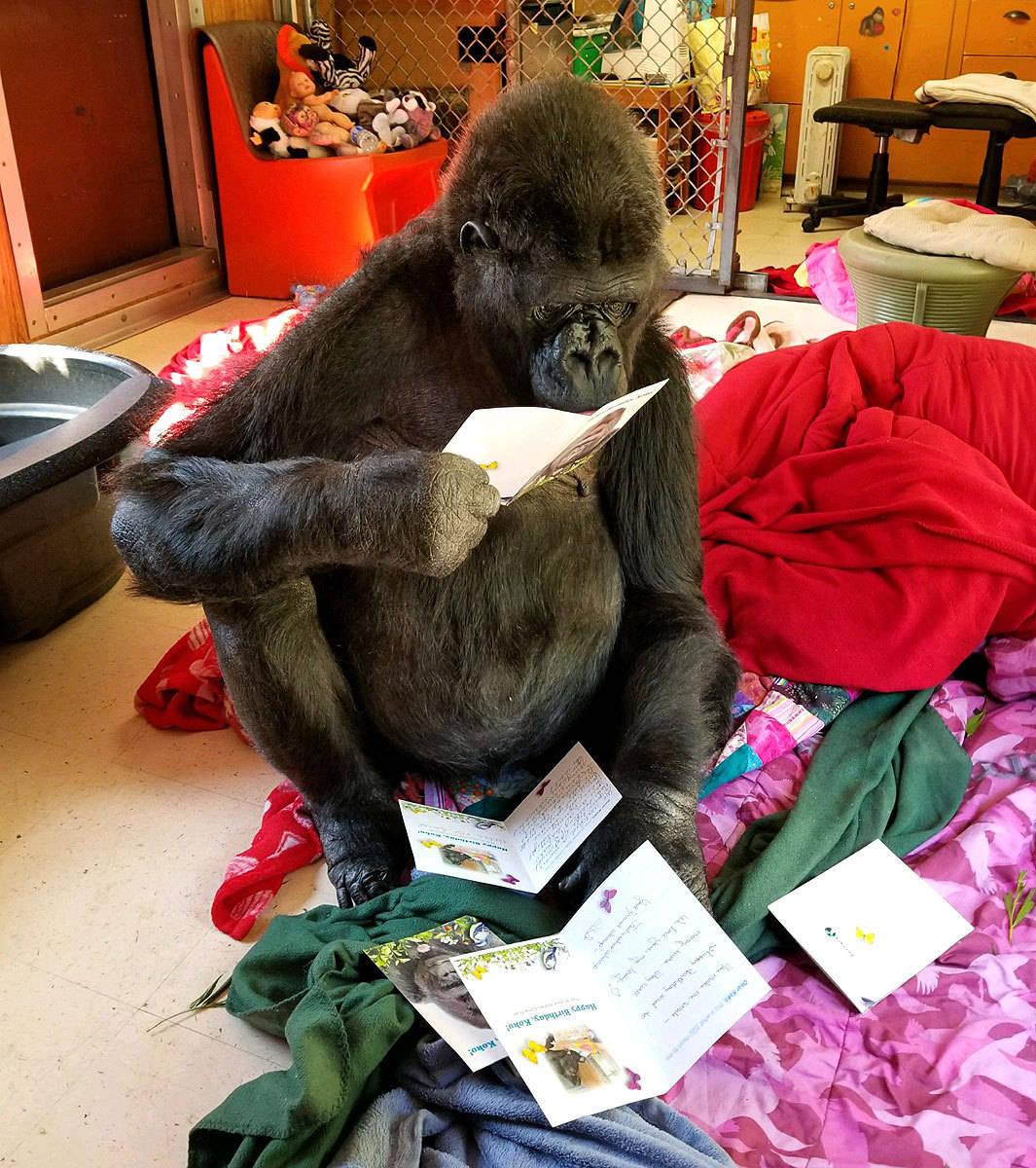 Koko, a gorila que aprendeu a língua de sinais, morre na Califórnia