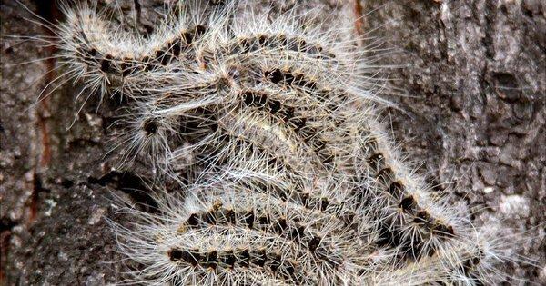 Calor causa infestação de lagarta tóxica na Europa