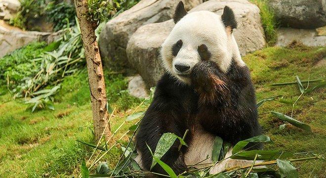 Le Le tem outras coisas para fazer além de acasalar — como comer bambu