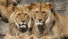 Leões de zoológico de Barcelona testam positivo para covid-19