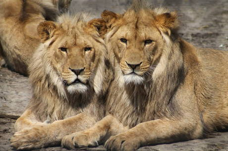 Leões em zoológico de Barcelona estão com covid