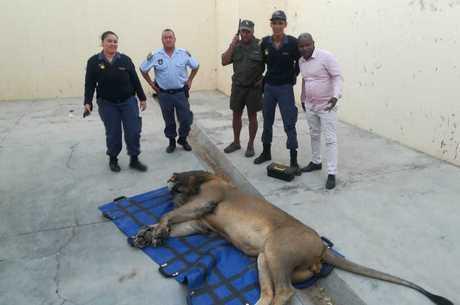 O leão está em uma cela na delegacia de Sutherland