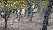 Cão corajoso encara leoa em safári e sobrevive para contar a história