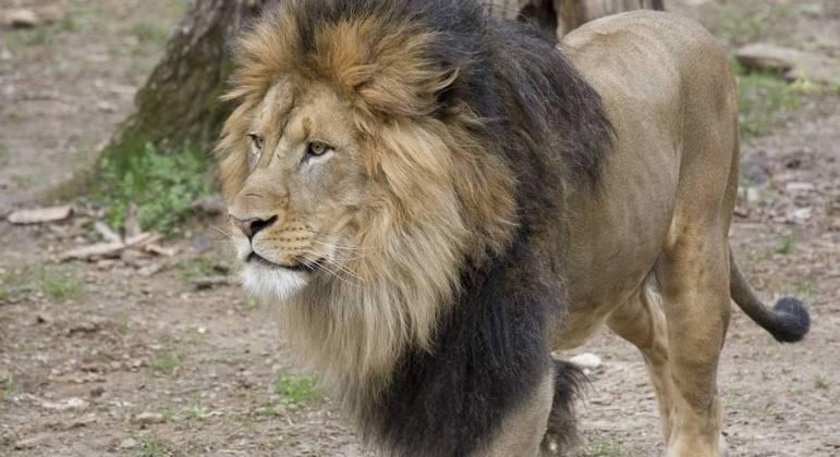 Leões e tigres estão recebendo tratamento e devem ser vacinados contra covid-19 em breve