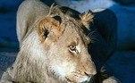 Segundo Moosa, era um leão macho, que talvez estivesse pensando em como seria a vida longe da famíliaLEIA MAIS:Mulher aluga caixão, ensaia funeral no quintal e ouve choro de amigos