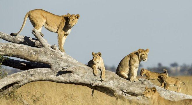 As leoas julgam quantos intrusos podem enfrentar antes de se aproximarem