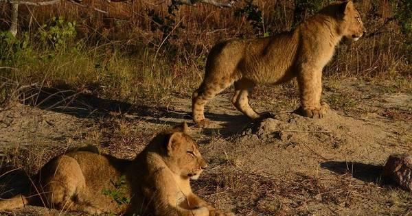 Homem morre após ser atacado por leões em reserva da África do Sul