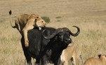 Geralmente, os búfalos sobrevivem quando enfrentam leões, mas grupos grandes de felinos — como essa gangue do Quênia — são capazes de vencer duelos do tipo. Segundo Murray, foram cinco minutos de ação, e um banquete que durou 24 horasNÃO VÁ EMBORA:Mulher aluga caixão, ensaia funeral no quintal e ouve choro de amigos