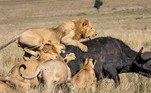 As fotos tiradas porMurray Jacklin, noParque Nacional Maasai Mara, no Quênia, revelam que são necessários 15 leões para derrubar um búfalo adulto