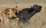 A dificuldade não é à toa, um desses pode ter até uma tonelada, e sabem que se ficarem em pé poderão sobreviverLEIA MAIS:Fotógrafo flagra leão em plena crise existencial à beira de lago