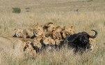 Entendemos os leões como os reis da savana, por sua juba majestosa e por tocar o terror enquanto caça. Mas, imagens registradas por um fotógrafo da vida selvagem, mostram que até o rei pode enfrentar grandes problemas para colocar comida na mesa