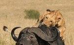 Segundo Murray, os leões formam uma espécie de gangue que se especializou em caçar búfalos