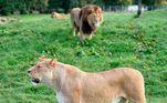 A direção do safári informou que o macacoBarbary escapou da área dele e foi para a região onde ficam os leões, que só esperaram um vacilo para devorá-lo