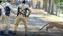 Leopardo é procurado após invadir área residencial e deixar 5 feridos