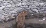 Um leopardo desabou em um poço, durante perseguição a um gato, na cidade indiana deNashik