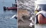 Vem tranquilo: leopardo persegue gato, mas acha adversário à altura.Navio-petroleiroatraca em porto com baleia morta presa à proa. Tubarões enormes devoram baleia-jubarte e turistas aplaudem.A seguir, os conteúdos mais lidos doHORA 7na última semana!