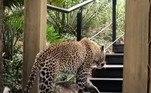 Ao que tudo indica, o leopardo usou o local para ter um vislumbre maior da presa