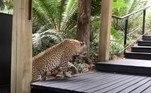 Segundo ela, o felino estava atrás de um bauala, antílope encontrado em diversas regiões da África SubsaarianaVeja também:'Nova Barbie Humana' arrecada dinheiro de fãs para retirar costelas