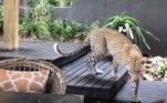 A hóspede já havia reparado no leopardo horas antes da invasãoBombou no HORA 7!Bebê adulto: homem foi demitido de vários empregos por usar fraldas