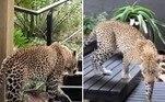 O leopardo acima invadiu o restaurante de um hotel na reserva Sabi Sands, na África do Sul, enquanto tentava caçar um antílope