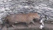 Vem tranquilo! Leopardo persegue gato, mas acha adversário à altura