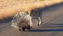 Porco-espinho resiste bravamente a 90 minutos de ataques de leopardo