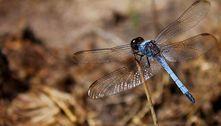 Biólogo descobre nova espécie de libélula em São Carlos (SP)
