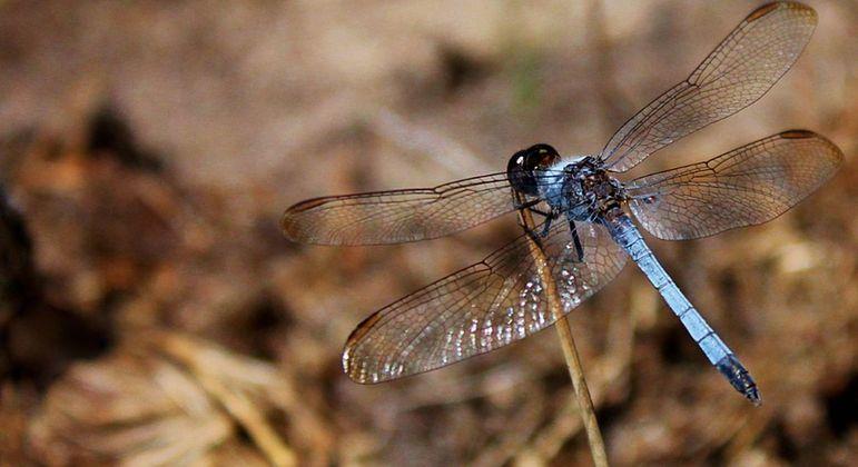 Nova espécie de libélula foi descoberta por professor no campus da Ufscar