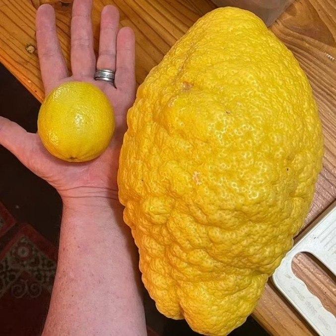 Limão gigante tem quase o tamanho do antebraço da chef de cozinha