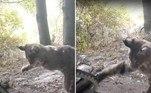 Um lince e uma cascavel travaram um duelo dramático pela vida, naFloresta Nacional de Angeles, na Califórnia (EUA)