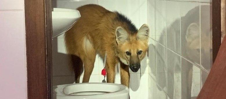 Lobo-guará é capturado em casa de condomínio