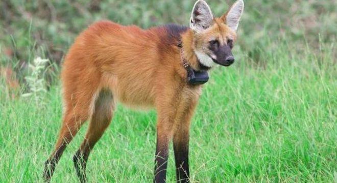 Homenagem do Banco Central pode ajudar lobo-guará, espécie que vive em risco constante