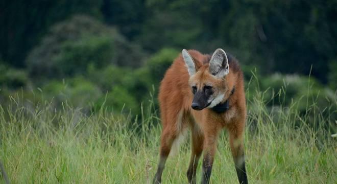 O desmatamento no Cerrado traz mudanças intensas aos lobos-guarás