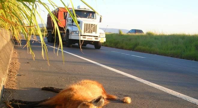 Estradas são uma ameaça ao lobo-guará
