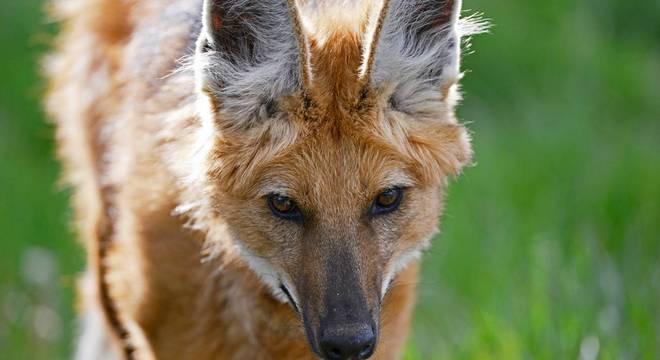 Produtores matam os lobos-guarás como forma de prevenção ou retaliação a ataques de aves