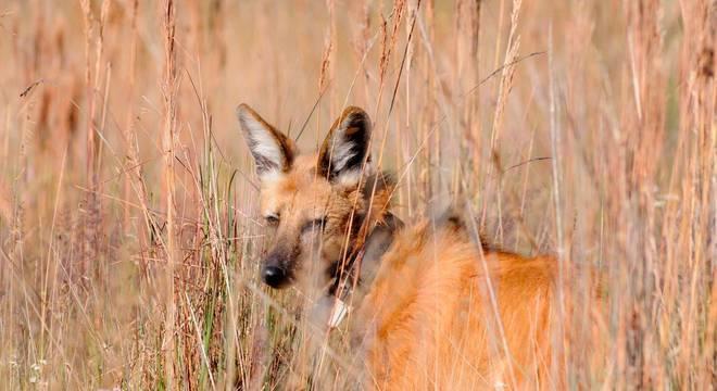 Para biólogos, a nova nota de R$ 200 será importante para conscientização sobre os lobos-guará