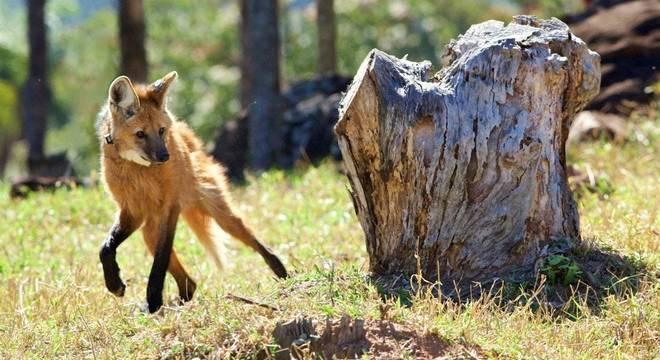 Lobos-guarás ganharam destaque nesta semana após a divulgação de que a espécie estará estampada na nota de R$ 200