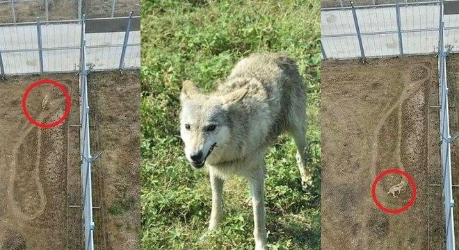 Comportamento de lobo 'deprimido' gerou especulações online