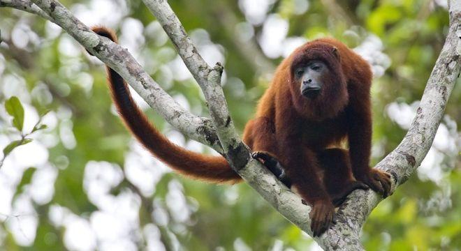 Macacos servem de hospedeiros do vírus da doença